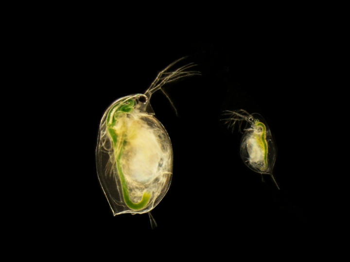 Daphnia magna (left) and Daphnia dentifera (right). Photo credit: Isabella Oleksy