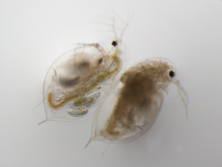 30v0-uninfectedvpasteuria-bf-8-sr