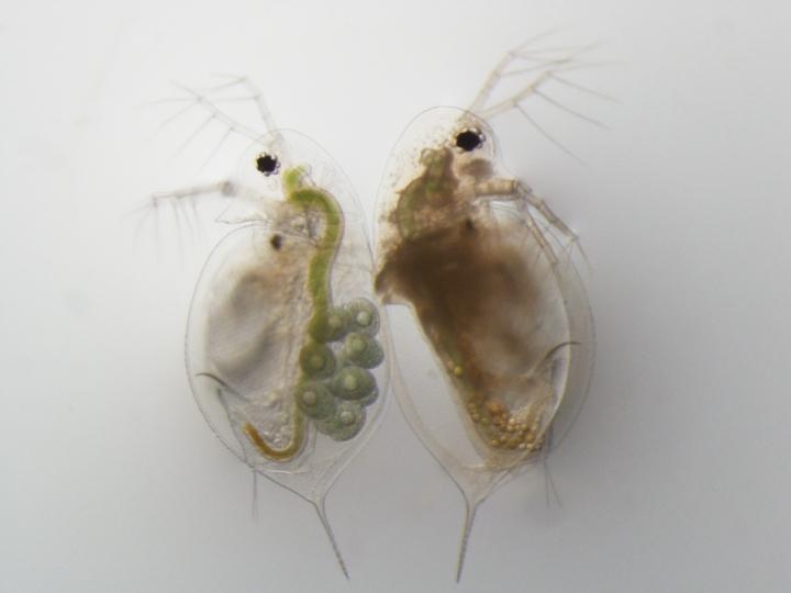 Pasteuria bf 1 sr