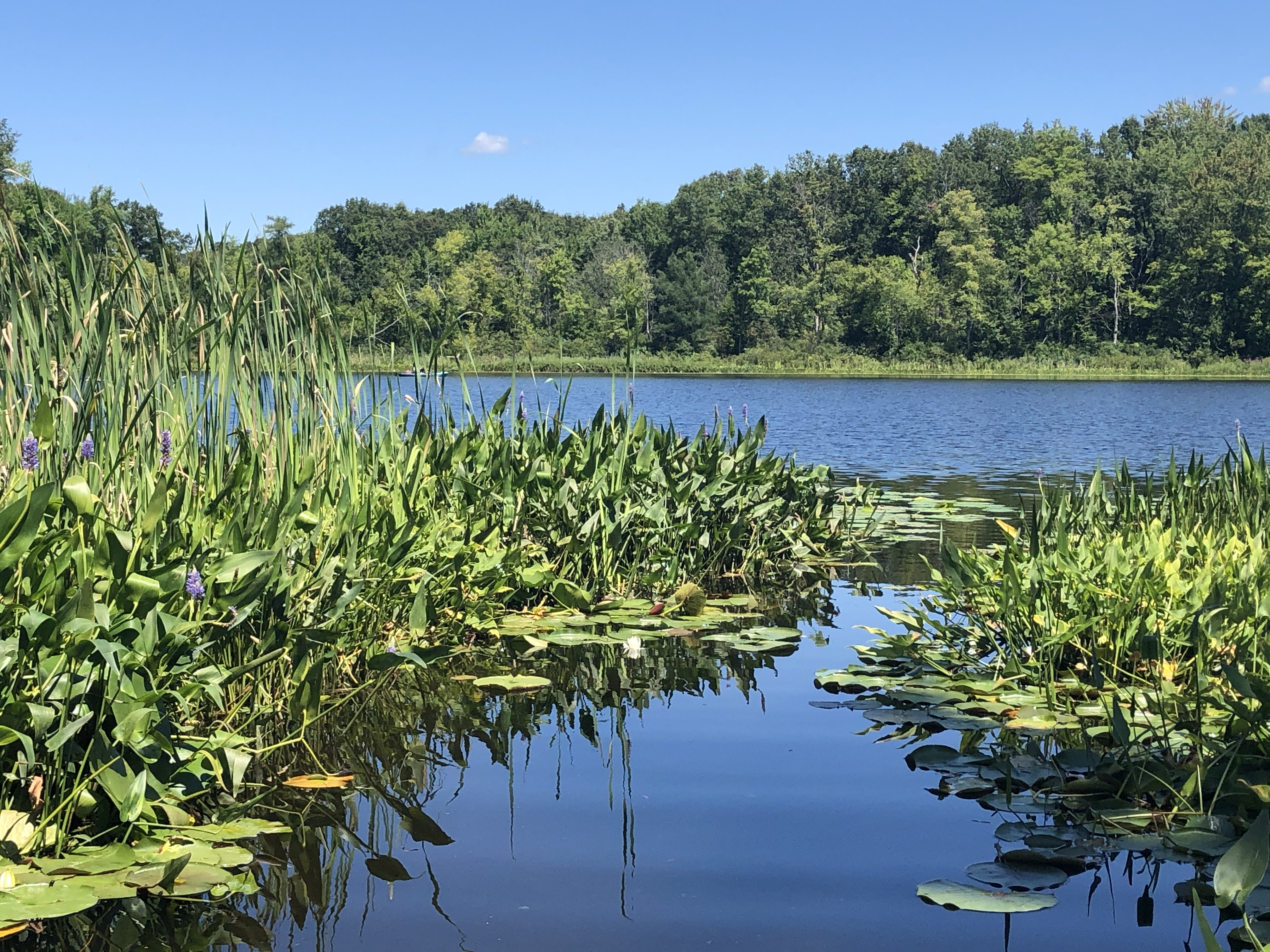 path through lilies, with a lake in the distance